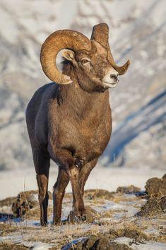 ˚Bighorn Sheep (Ovis canadensis)
