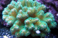 Pocillopora (Green) Thumbnail