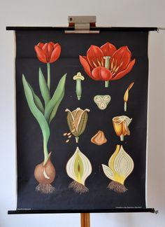 Schulkarte/Wandkarte+60er+vintage:+Tulpe+von+Prof.+Knöterichs+Schulkarten+Sammelsurium+auf+DaWanda.com