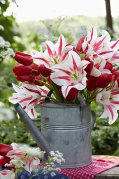 Burgundy and white tulips in a metal watering can!