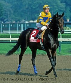 Turkoman: sired by Alydar: euthanized Dec 2016 at age 34 Saratoga Horse Racing, Calumet Farm, Horse Racing Results, Horse Artwork, Horse Names, Thoroughbred Horse, Black Horses, Courses, Champs