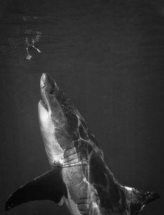 Shark! Shark! Shark!