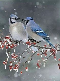 229 Best Bluejay Images In 2019 Beautiful Birds Blue Jay Exotic