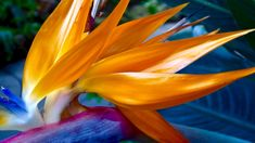 Bird of Paradise!   Spiro Anassis   Flickr Paradise Flowers, Exotic Flowers, Bird, Plants, Birds, Plant, Planting, Planets