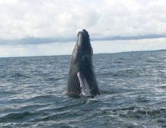 Ballenas Jorobadas Pacifico Colombiano