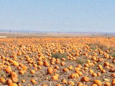 NAPI by Farmington New Mexico(the great pumpkin patch:)