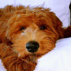 SPAL Puppy