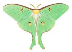 Luna Moth Public Domain Clipart