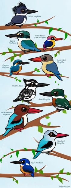 Pictured from top to bottom are: Belted Kingfisher, Sacred Kingfisher, Black-backed Dwarf Kingfisher, Common Kingfisher, Stork-billed Kingfisher, Pied Kingfisher, Green Kingfisher, White-throated Kingfisher, Woodland Kingfisher and Azure Kingfisher.