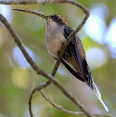Conhecendo os Animais: Aves Apodiformes e Galbuliformes - phaetornis bourcieri / No Brasil temos 59 espécies de Beija-flor .