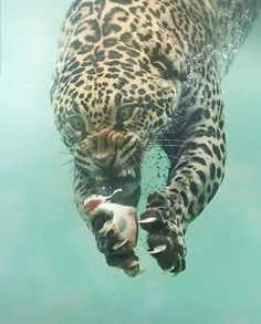 "The name Jaguar originated from the Native American word 'Yajuar' meaning ""He who kills with one leap"". Unlike many other big cats, Jaguars are extremely good swimmers 🐆 Photo by Source Nature Animals, Animals And Pets, Funny Animals, Cute Animals, Wildlife Nature, Prey Animals, Scary Animals, Fierce Animals, Happy Animals"