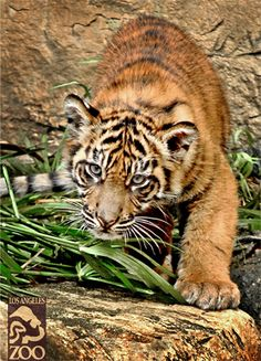 Sumatran tiger at the LA Zoo