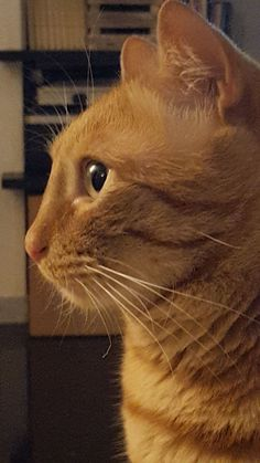 Romeo, a beautiful orange cat. Cat Pictures For Kids, Cat Videos For Kids, Pretty Cats, Beautiful Cats, Baby Cats, Cats And Kittens, I Love Cats, Cute Cats, Munchkin Cat Scottish Fold