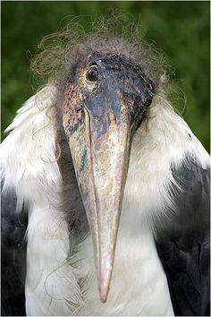 Stork - here's a face only a mother stork could love :) kinda cute though, aww.