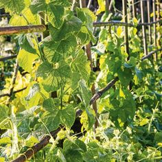 Concombres installés sur un support gain-de-place Agriculture, Plant Leaves, Fruit, Place, Melons, Permaculture, New York, Construction, Teepees