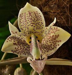 Stanhopea gibbosa