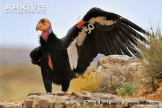 California condor with wing outstretched