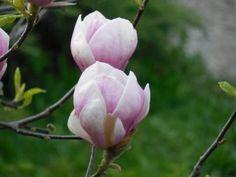 Florile primăverii din Grădina Botanică