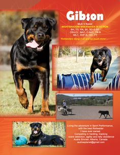 GIBSON Multi V Rated Nightshadow Braxhaven in Action BH, TD, RN, SE, SD-S-SP, CRA-CL, NAC, O-NJC, TN-N, BA-1, XHP-N, HIC, PT  Living the adventure in sport performance with the best Rottweiler I have ever owned. Competing in herding, tracking, scent detection, agility and rally obedience Audra Sinclair Alberta, Canada audrasplanet@gmail.com