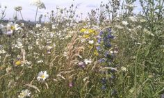 Bannockburn High School- 3rd year flowering Photo: On the Verge http://champagnewhisky.com/2014/03/04/roundabout-flowers/