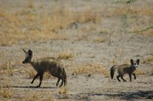 Bat -eared fox (Otocyon megalotis)
