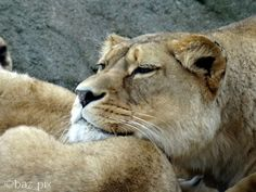 Lion, Faces, Animals, Leo, Animales, Animaux, Lions, The Face, Animal