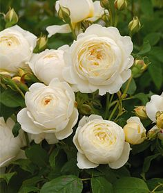 Rose, Claire Austin PP19465  A unique white among the usual red roses. A 2011 introduction, with superb, distinct scent of myrrh and vanilla. With a 120-petal count, pale lemon buds open into large, creamy white roses. Perennial     Zone: 5-9     Sun: Full Sun     Height: 4-8  feet    Spread: 3-4  feet    Uses: Borders, Cut Flowers     Bloom Season: Summer
