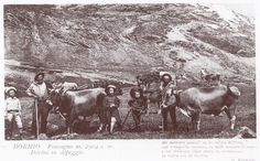 Cattle in mountain pastures in 1912 . Cattle, Old Photos, Moose Art, Mountain, Culture, History, Painting, Animals, Gado Gado