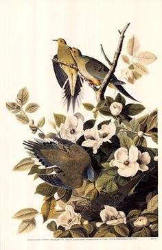 Mourning Dove, Audubon...I love doves