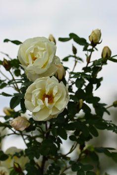 Rosa 'Plena'
