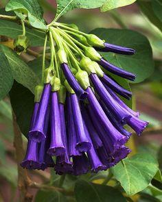 Purple Violet Tubeflower (Iochroma hybrid) Royal Queen | PBase