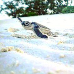 #tbt #heronisland #greatbarrierreef #australia #babyturtle #newborn #reachingthesea #wildlife by emylylyy http://ift.tt/1UokkV2