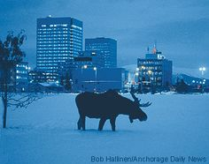 Anchorage, Alaska...great pic! we saw some moose near Anchorage, but not this close, and not in the snow!