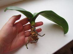 Mé kamarádce před očima umírala její orchidej. Řekla jsem jí o triku, který jí ji zachránil a krásně rozkvetla | Navodynapady.cz Ale, Plant Leaves, Garden, Flowers, Plants, Garten, Florals, Ales, Gardens