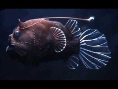 Deep Sea Angler Fish