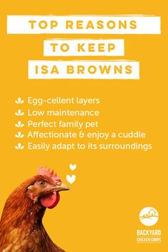 Isa brown chickens are the perfect addition to any backyard. Find out more about this marvelous breed here, http://www.backyardchickencoops.com.au/isa-browns-a-comprehensive-guide #loveyourchickens  #chickenbreeds #isabrownchickens
