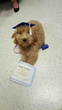 This little bear who finally passed puppy preschool. | 22 Proud Pups Who Finally…