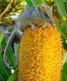Honey Possum about to lick nectar and pollen from a banksia flower.  © Christine Cooper