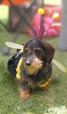 Miniature wire haired Dachshund Puppies | Dachshunds miniature wire haired