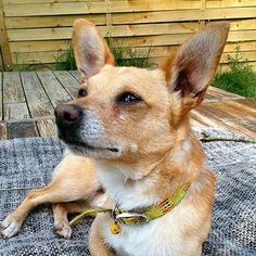 Hachiko www.vip-pets.cz Hachiko, Dog Hotel, Vip, Corgi, Luxury, Pets, Animals, Animals And Pets, Animales