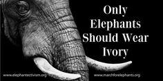 Petition Only Elephants Should Wear Ivory! Please join -signing and sharing this AVAAZ petition calling on CITES and all member parties to end the ivory trade: Elephant Love, Elephant Facts, Ivory Trade, Save The Elephants, Stop Animal Cruelty, Gentle Giant, African Elephant, Endangered Species, Dog Care