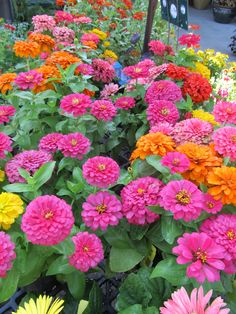 My zinnia garden looks like this.....it took years, and I am still amazed