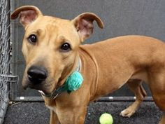 I AM SAFE THANK YOU4/14 Super Urgent 4/14 PEACHES – A1069650 To BE DESTROYED 12NOON Volunteer: When we like someone we call them a 'peach', so I love that this dog's name is Peaches, as she is indeed a 'peach'. Quiet and shy, she lay on her bed most of the day, getting up gently as I unlatched her door and invited her out for a walk. Her coat is a beautiful, clean and soft like velvet orangish color - perhaps like a perfectly ripe peach. She looks like she's wearing the finest eyeliner, made…