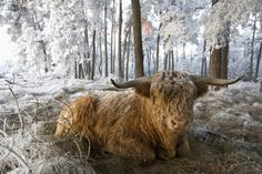 Scottish Highland cattle, such as this bull in the Netherlands, will be used in early efforts to bring back aurochs. Highland Cow Art, Highland Cattle, Scottish Highland Cow, Scottish Highlands, Fluffy Cows, Animal Magic, Cute Cows, Long Haired Cows, Rare Animals