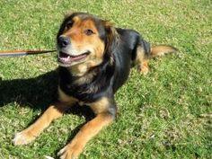 Abbie is an adoptable Australian Shepherd Dog in El Cajon, CA.  ...