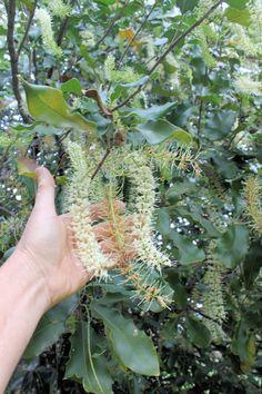 macadamia tree - Google Search