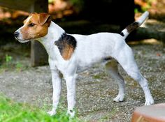 Parson Russell Terrier Foto