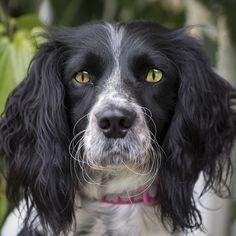 Through a Spaniels Eyes - Cat eyed dog