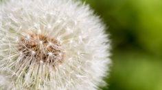 Pusteblume - Photo by Benjamin Hubert Macro Shots, Dandelion, Flowers, Plants, Pictures, Photography, Photos, Photograph, Dandelions