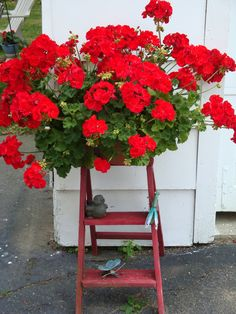 Red Geranium on a step ladder